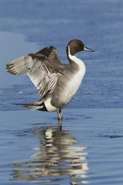 Pintail Drake on Ice by Ken Archer