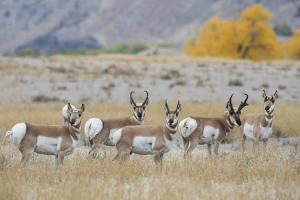 Pronghorn antelope herd. by Ken Archer