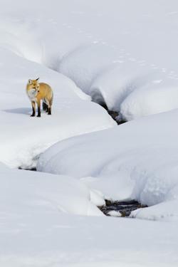 Red Fox in Winter by Ken Archer