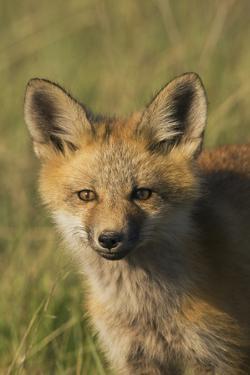 Red Fox Kit by Ken Archer