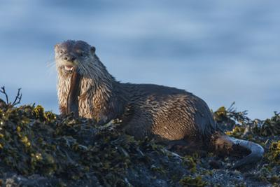 River Otter, a snack found among the tide pools at low tide by Ken Archer