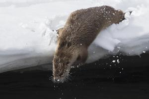 River otter crow into the Lamar River by Ken Archer