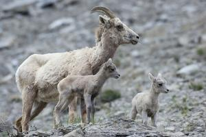 Rocky Mountain Bighorn Sheep, Ewe with Twin Lambs by Ken Archer