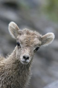 Rocky Mountain Bighorn Sheep Lamb by Ken Archer