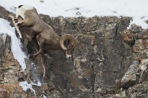 Rocky Mountain bighorn sheep, navigating winter cliff side by Ken Archer