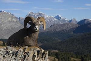 Rocky Mountain Bighorn Sheep Ram, Canadian Rockies by Ken Archer