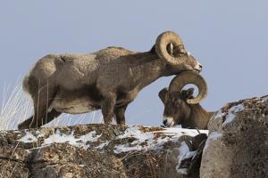 Rocky Mountain bighorn sheep rams head by Ken Archer