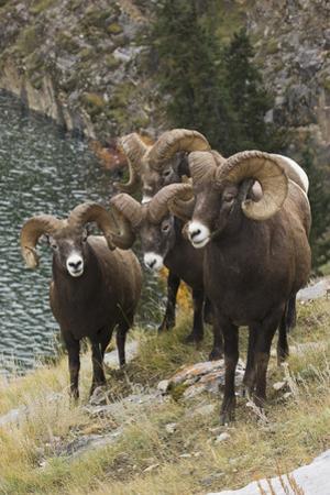 Rocky Mountain Bighorn Sheep Rams by Ken Archer