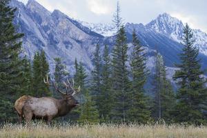 Rocky Mountain bull elk bugling. by Ken Archer