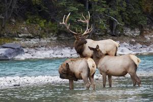 Rocky Mountain Bull Elk with Cows by Ken Archer