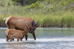 Rocky Mountain cow elk with calf by Ken Archer