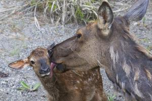 Rocky Mountain Cow Elk with Newborn Calf by Ken Archer