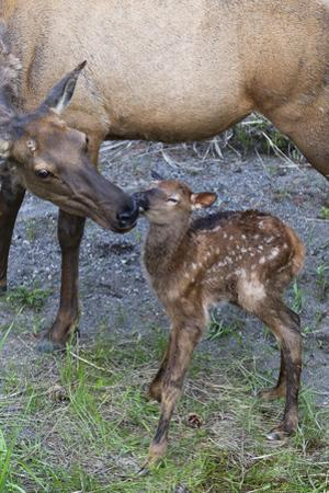 Rocky Mountain Cow Elk with Newborn Calf