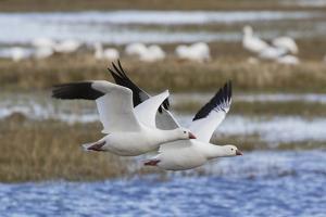 Ross geese pair by Ken Archer