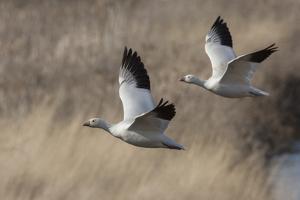 Ross geese by Ken Archer
