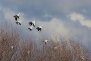 Ross's geese alighting by Ken Archer