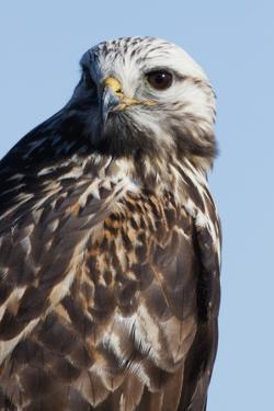 Rough-Legged Hawk by Ken Archer