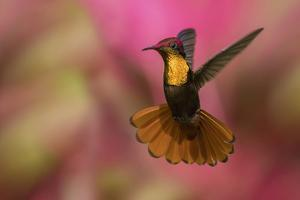 Ruby Topaz Hummingbird by Ken Archer