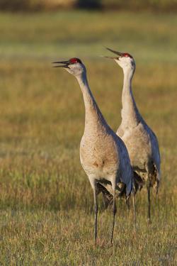 Sandhill Cranes Calling by Ken Archer