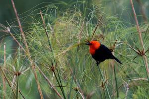 Scarlet-headed blackbird by Ken Archer