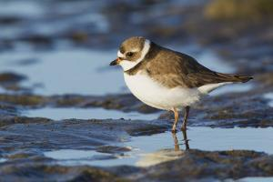 Semipalmated Plover by Ken Archer