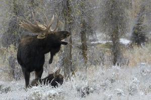 Shiras Bull Moose Courting Cow Moose by Ken Archer