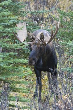 Shiras Bull Moose by Ken Archer