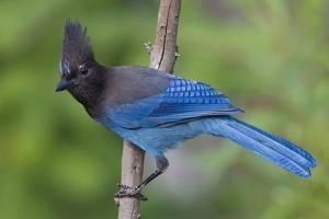 Stellers Jay by Ken Archer