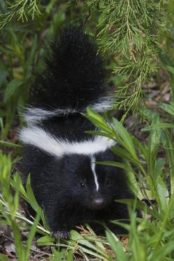 Striped Skunk Kit by Ken Archer