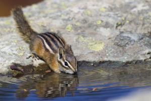 Townsend's Chipmunk, drinking at a rain water pool by Ken Archer