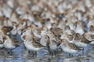 Western sandpiper flock. by Ken Archer