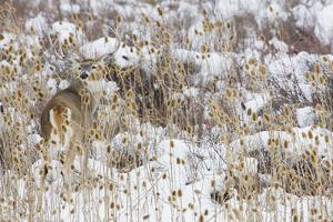 White-tail deer buck camouflaged by Ken Archer