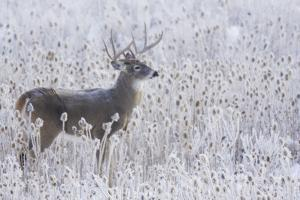 White-tailed deer buck frosty winter morning. by Ken Archer