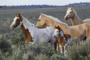 Wild horses, Mustangs by Ken Archer
