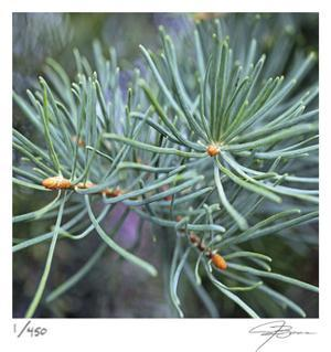 Fir Needles by Ken Bremer