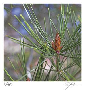 Pine Bud by Ken Bremer