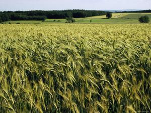 Grain Field, Agricultural Landscape, Near Retz, Lower Austria, Austria, Europe by Ken Gillham