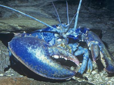 American Lobster Blue Color Phase. (Homarus Americanus) Atlantic Coast, USA