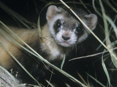Black-Footed Ferret (Mustela Nigripes), a Highly Endangered Species of North American Mammal by Ken Lucas
