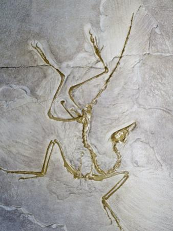 Early Bird Fossil (Archaeopteryx Lithographica), Jurassic Period, 200 M.Y.A., Solnhofen, Germany by Ken Lucas