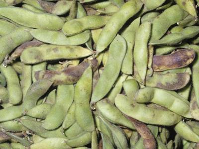 Edamame or Edible Soybean Pods (Glycine Max), Native To Northern Asia by Ken Lucas