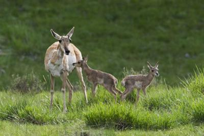 Pronghorn antelope doe with twin newborn fawns by Ken