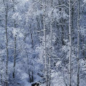 Snow on Aspen Trees in Forest by Ken Redding