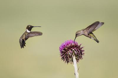 https://imgc.allpostersimages.com/img/posters/kendall-county-texas-black-chinned-hummingbird-feeding-at-thistle_u-L-PU3NY00.jpg?p=0
