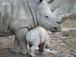 A Large White Rhinoceros and its Young by Kenneth Garrett