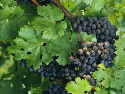 Close View of Red Grapes on the Vine