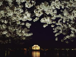 Japanese Cherry Blossoms Frame a Night View of the Jefferson Memorial by Kenneth Garrett