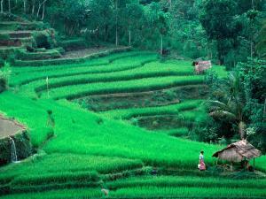 Rice Fields, Cultivation, Bali, Indonesia by Kenneth Garrett