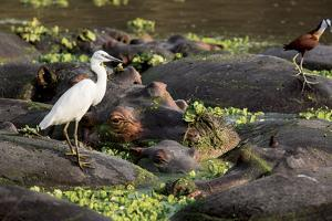A white egret stands on the back of a hippopotamus resting with others in Mfuwe Lagoon. by Kenneth Geiger