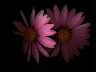 A Close View of Echinacea Flowers in Late Summer by Kenneth Ginn